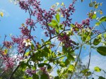 Twining around Cercis occidentalis (western redbud)