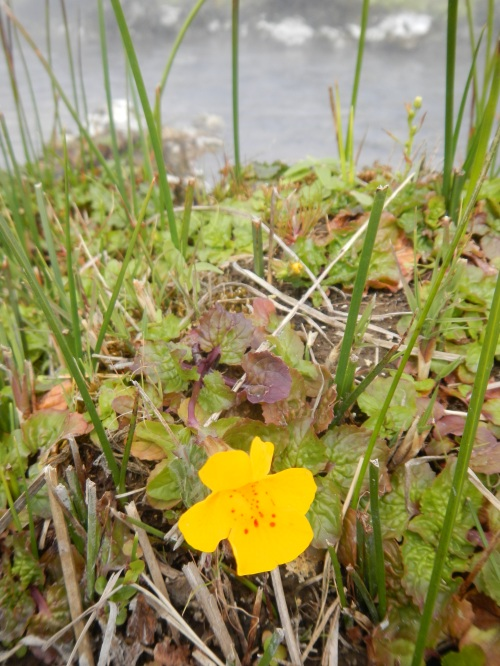 Although the rest of the valley had barely awakened to spring, Mimulus guttatus (common yellow monkeyflower) was in full bloom on the warm, moist pool edges.